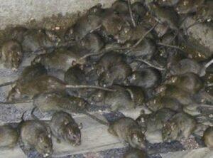 كمية كبيرة من الفئران